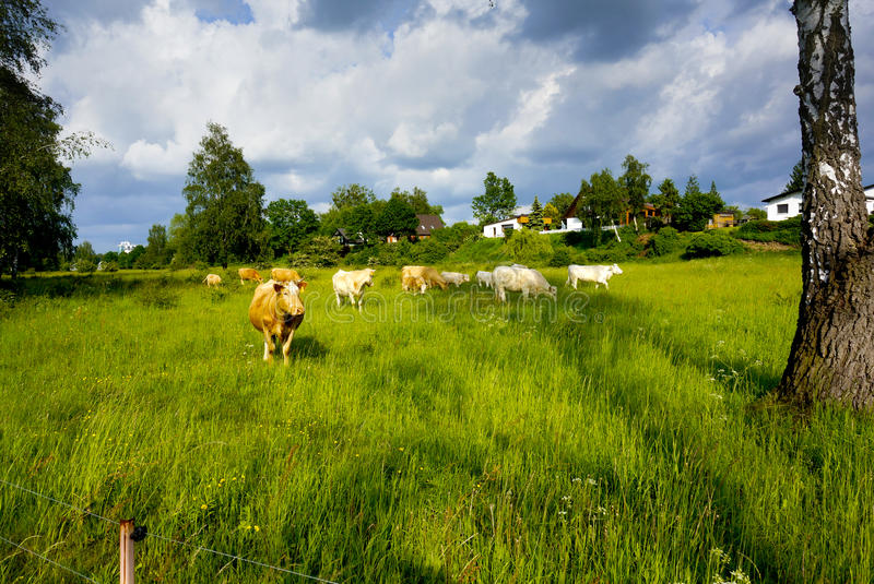 Landscape with cows stock photos