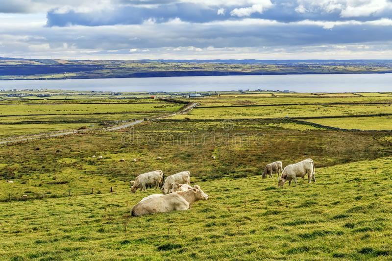 Landscape with cows, Ireland. Landscape with Atlantic Ocean Bayand cows, Ireland royalty free stock image