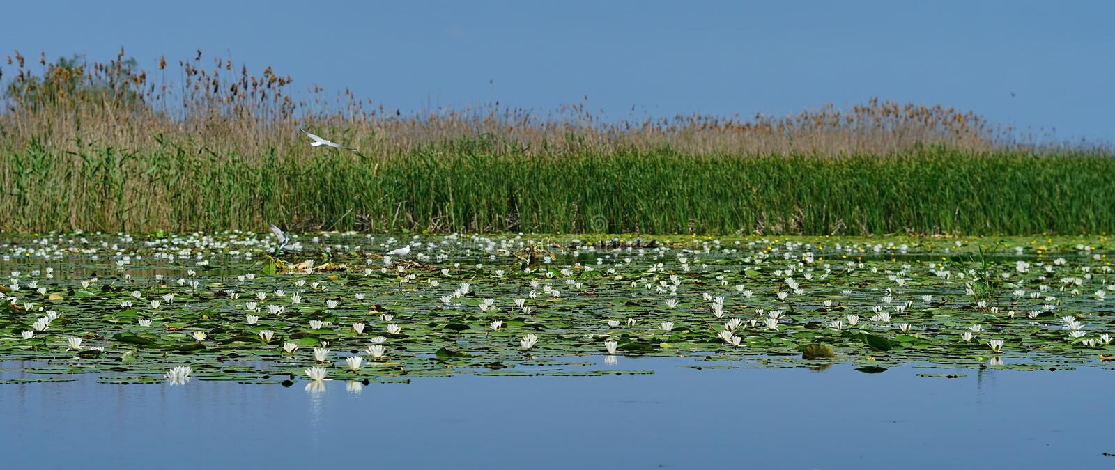 Landscape from Danube Delata with Lotus flowers. Nelumbo lutea - Lotus flowers in Danube Delta, Romania royalty free stock photo