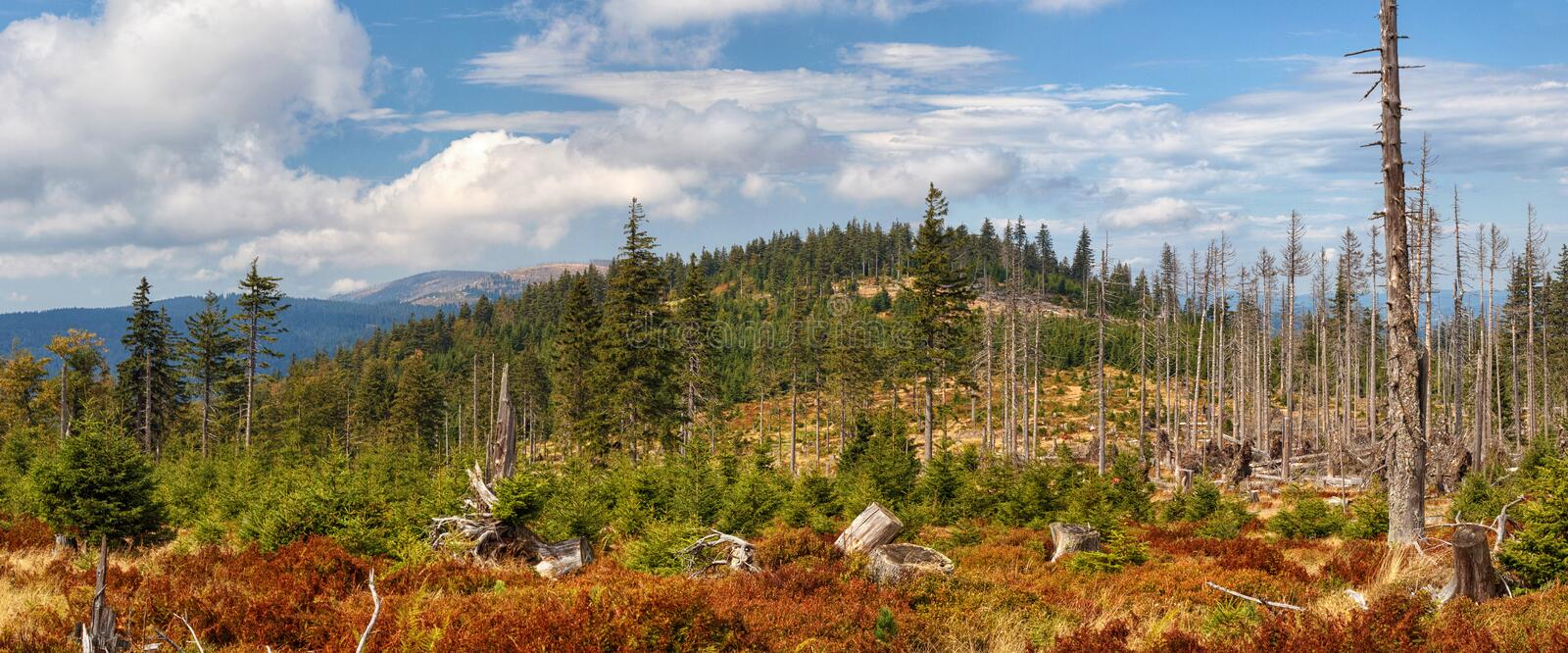 Landscape - dead and fallen trees and growing young living trees spruce, Bohemian Forest Sumava royalty free stock image