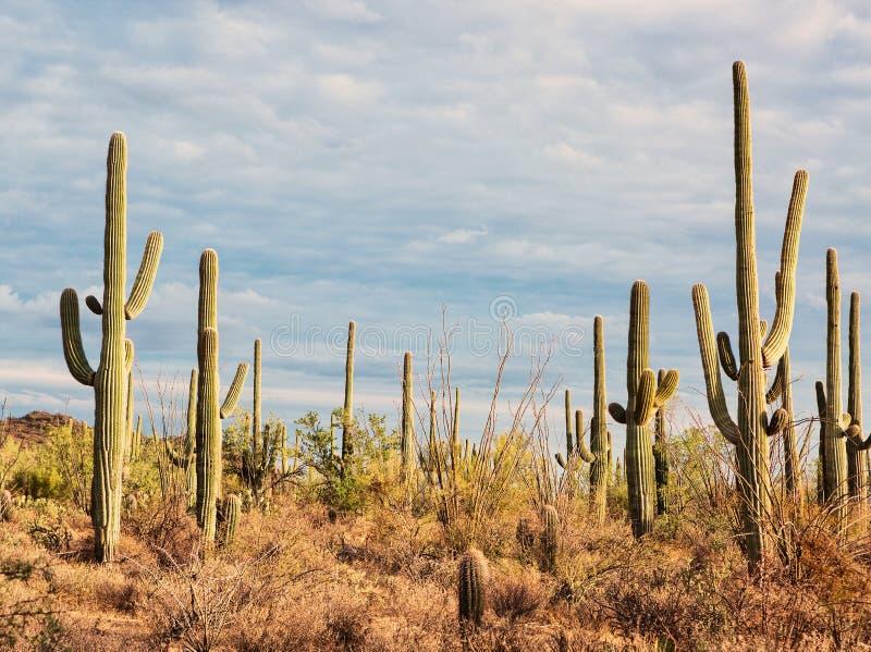 Landscape of the desert with Saguaro cacti. Toned image.  stock image
