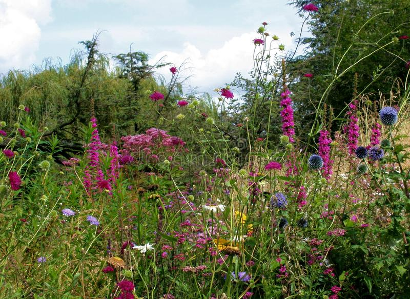 Beautiful Wildflowers at Trentham Estate 2. Landscape Designer, Nigel Dunnett, has created one of the most beautiful lakeside and woodland walks in England in ` stock image