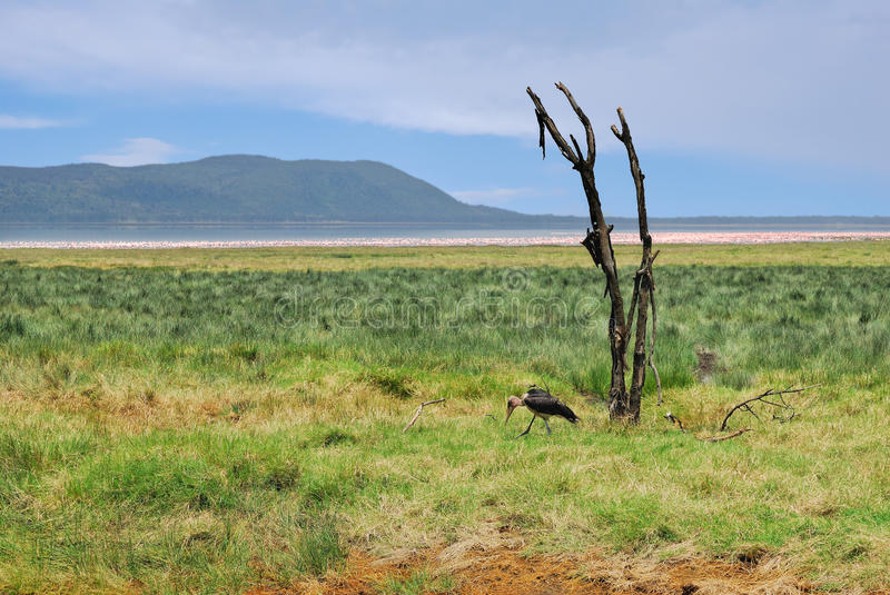 Landscape With Dry Plant And Marabou Stork Royalty Free Stock Images