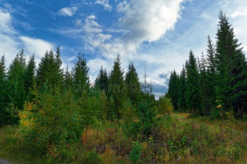 Landscape early autumn fir forest in the mountains. Landscape early autumn fir forest in the Ural mountains royalty free stock image