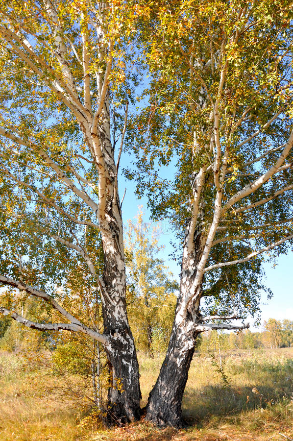 Landscape early autumn. Large sprawling birch with yellow and green foliage on a background autumn forest. Ahead of stock photo