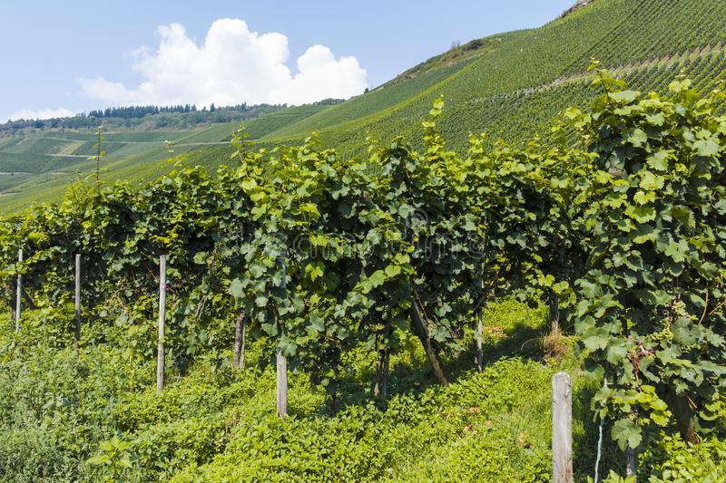 Famous green terraced vineyards in Mosel river valley, Germany, production of quality white and red wine, riesling. Landscape with famous green terraced royalty free stock photo