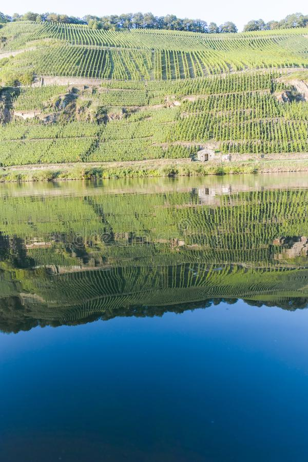 Famous green terraced vineyards in Mosel river valley, Germany, production of quality white and red wine, riesling. Landscape with famous green terraced royalty free stock images