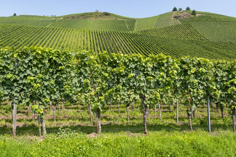 Famous green terraced vineyards in Mosel river valley, Germany, production of quality white and red wine, riesling. Landscape with famous green terraced royalty free stock photos