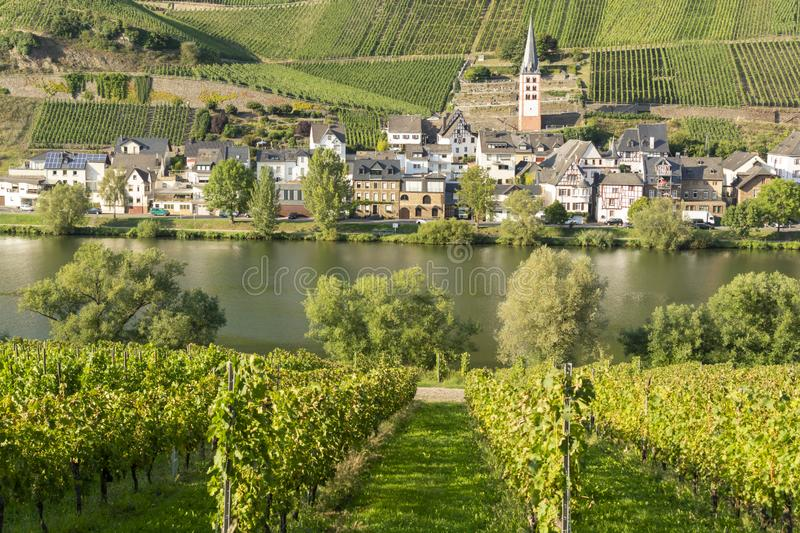 Famous green terraced vineyards in Mosel river valley, Germany, production of quality white and red wine, riesling. Landscape with famous green terraced stock photo