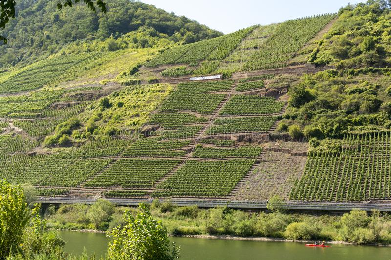 Famous green terraced vineyards in Mosel river valley, Germany, production of quality white and red wine, riesling. Landscape with famous green terraced stock photography