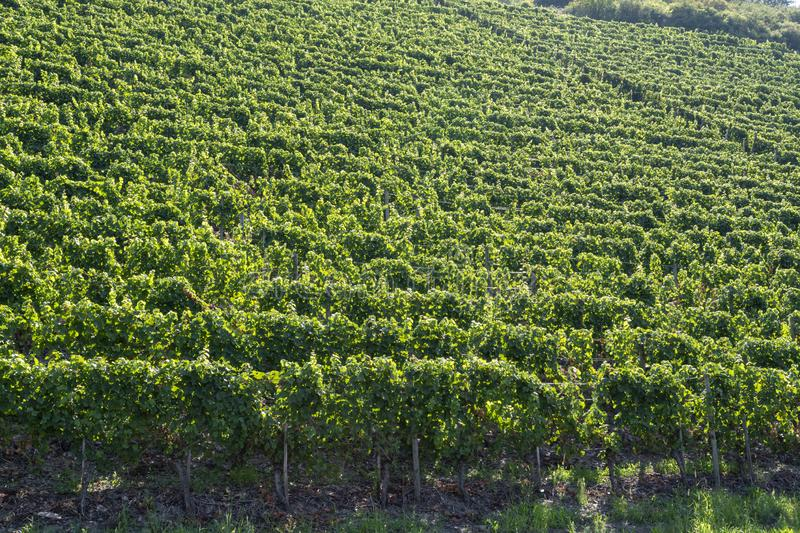 Famous green terraced vineyards in Mosel river valley, Germany, production of quality white and red wine, riesling. Landscape with famous green terraced stock photos