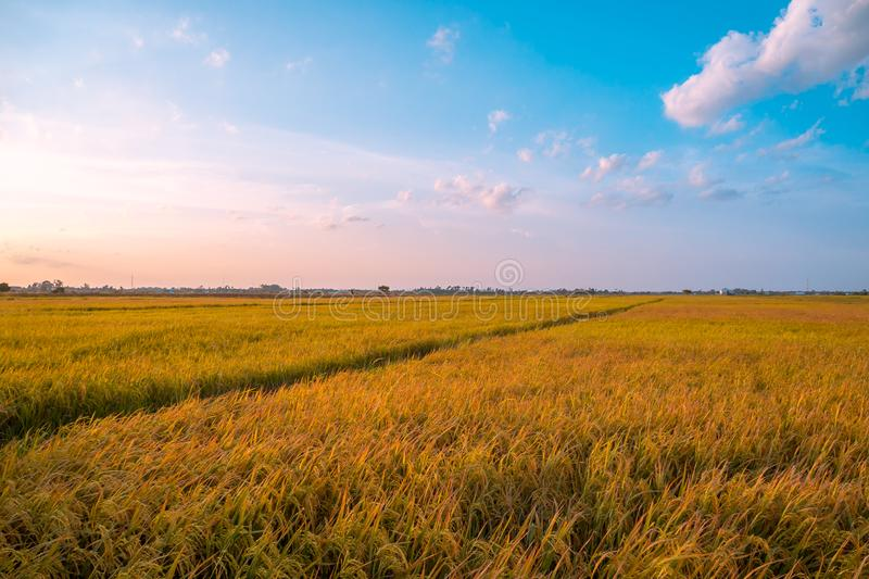 Landscape of field rice with very beautiful sky and cloud royalty free stock images