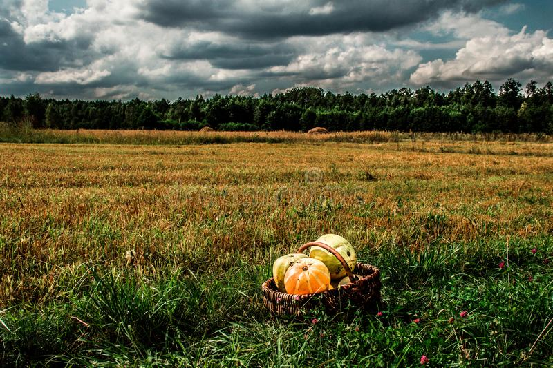 Landscape field of sky and harvest of pumpkin. Autumn scenery. Harvesting. Background royalty free stock images