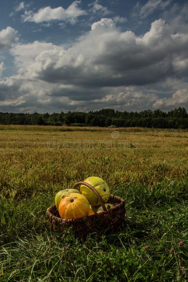 Landscape field of sky and harvest of pumpkin. Autumn scenery. Harvesting. Background stock photography