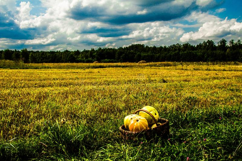 Landscape field of sky and harvest of pumpkin. Autumn scenery. Harvesting. Background stock photo