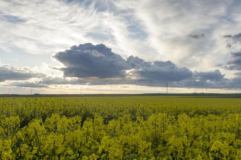 Rapeseed fields with a cloudy sky at sunset. Landscape with fields of rapeseed. Big clouds in a blue sky, in the sunset royalty free stock photos