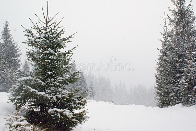Landscape with fir tree on snow-covered meadow in snowfall stock photography