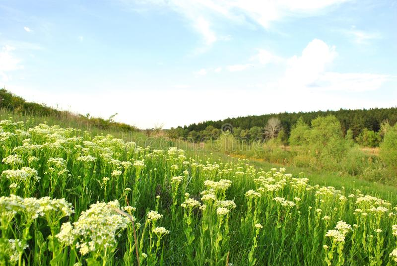 Landscape with green meadow,hill with white flowers and pine forest on horizon, blue cloudy sky. Sunny day royalty free stock image