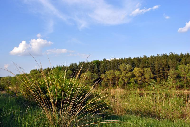 Landscape with green meadow, lake and pine forest on bank, bush close up, yellow reeds, blue cloudy sky on horizon. Sunny day stock image