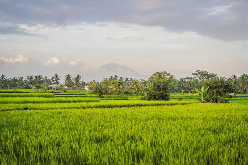 Landscape with green rice fields, palm trees and Agung volcano at sunny day in island Bali, Indonesia. Nature and travel royalty free stock images