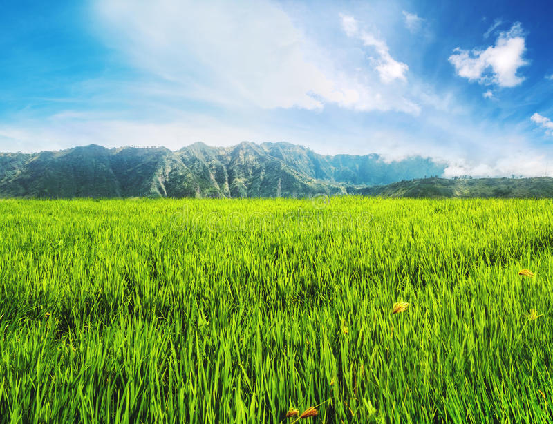 Landscape green rice grassland field with mountain and blue sky. Landscape green rice grassland field, with mountain and blue sky stock photo