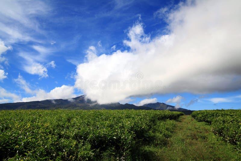 Landscape Green Tea Farming Royalty Free Stock Photography
