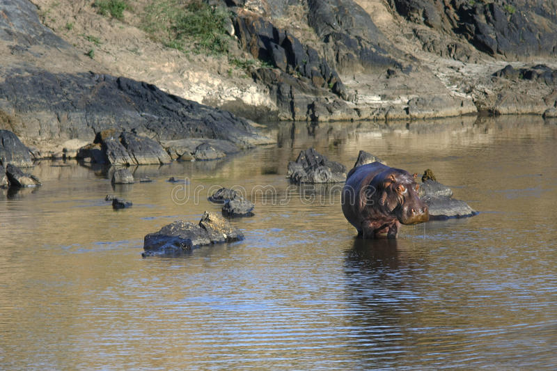 Landscape with hippo posing standing in Masai Mara river royalty free stock photo