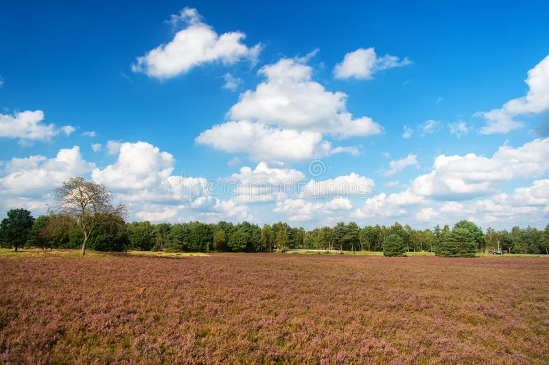 Landscape idyllic scene. Cloudy day at field. Why meadow turning purple. Buoyed by climate change invasive plant taking royalty free stock images