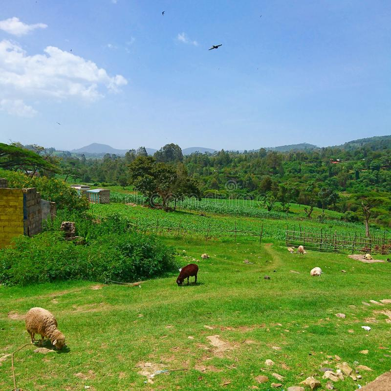 Landscape image of farm life in rural areas. Kericho, kenya, sheep, trees royalty free stock photo