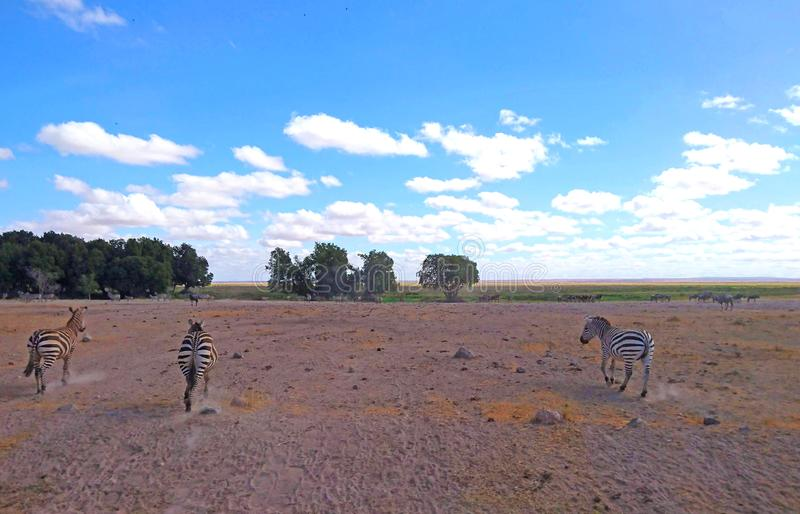 Landscape image with zebras for background stock photo