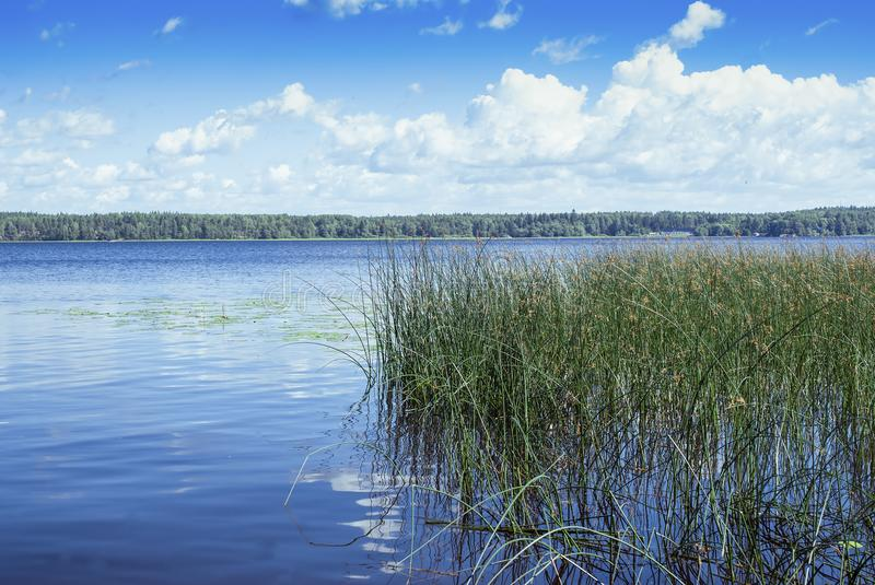 Pond and water plants at summer day. Landscape on the lake. White clouds and creepers on the lake royalty free stock photography
