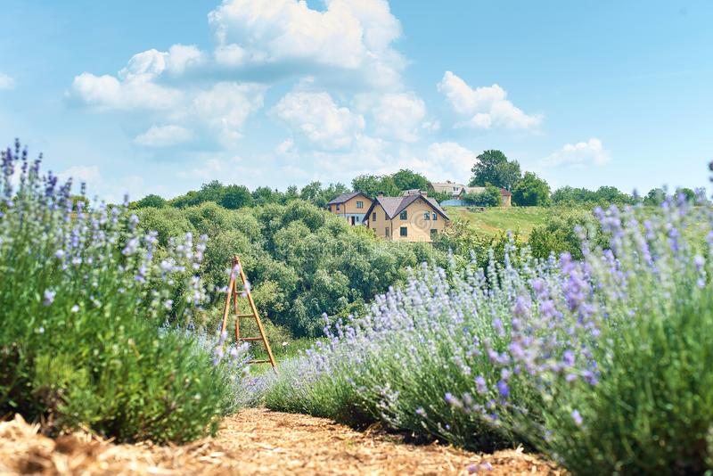 Landscape Lavender field with houses on the horizon stock image