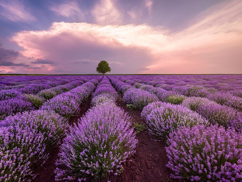 Landscape of lavender field and lonely tree royalty free stock photo