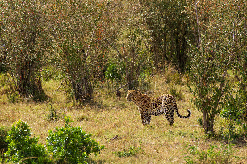 Landscape with leopard royalty free stock image