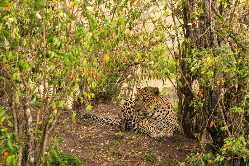 Landscape with leopard royalty free stock photos