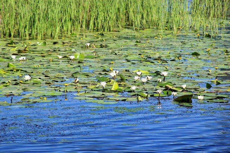 Danube Delta, Romania. Landscape with lily Danube Delta wilderness in Romania royalty free stock photos