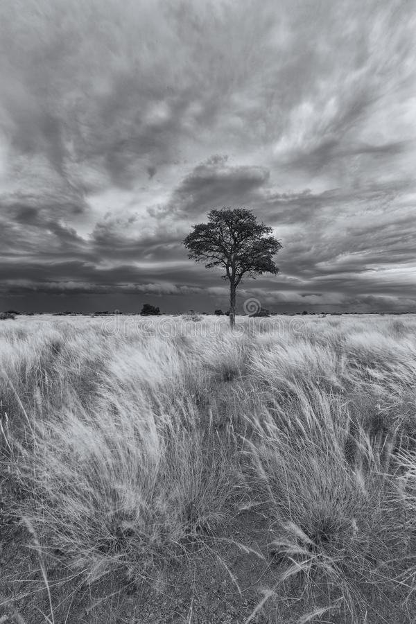 Landscape of a lone tree on a grass plain with storm clouds approaching in Kalahari artistic conversion royalty free stock photos