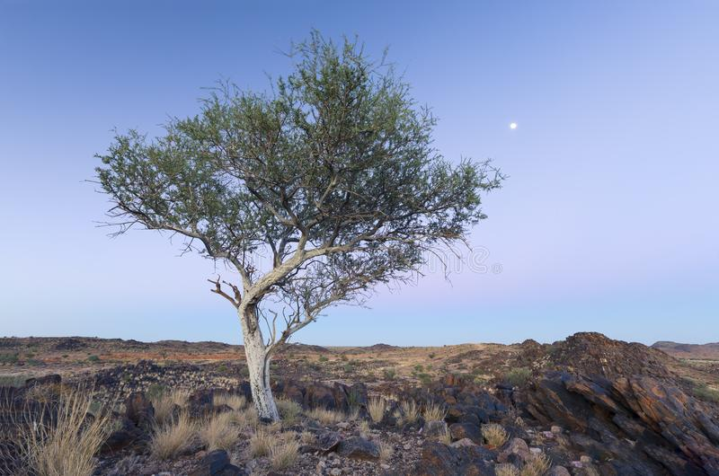 Landscape of a lone tree with white trunk and moon in dry desert. Landscape of a lone tree with white trunk and moon in the dry desert stock photography