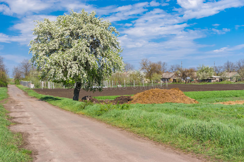 Landscape with lonely flowering pear-tree at roadside in Kalynivka village, central Ukraine. Spring landscape with lonely flowering pear-tree at roadside in royalty free stock image