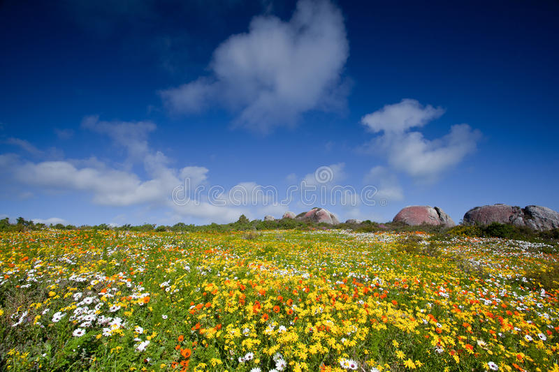 Landscape of meadow with flowers. Landscape of meadow or prairie full of colorful yellow, orange and white flowers stock photography