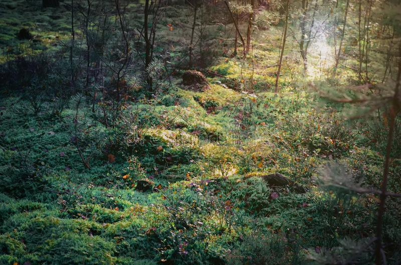 Magical forest in sunlight. Landscape of mossy ground in beautiful forest with sun shining royalty free stock image