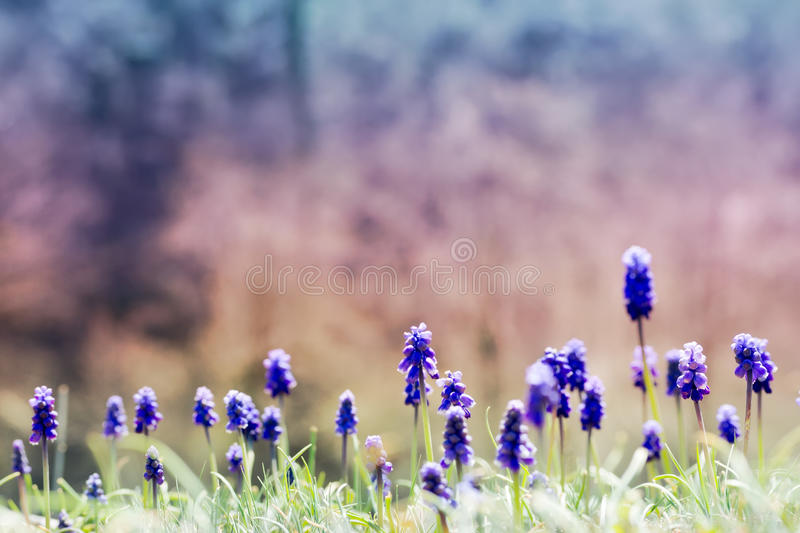 Landscape natural with flowers Muscari, on a gentle soft toned on blue and pink background outdoors close-up stock photography
