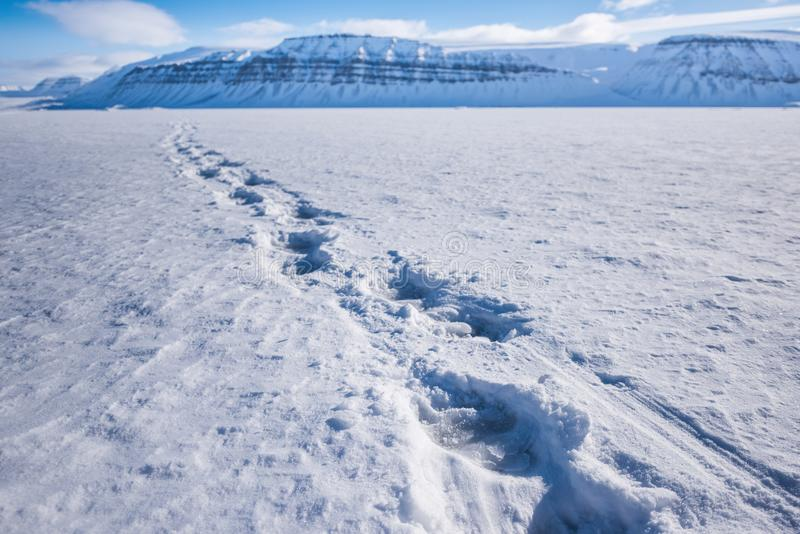 Landscape nature polar bear track on an ice floe of Spitsbergen Longyearbyen Svalbard arctic winter polar sunshine day sky stock images