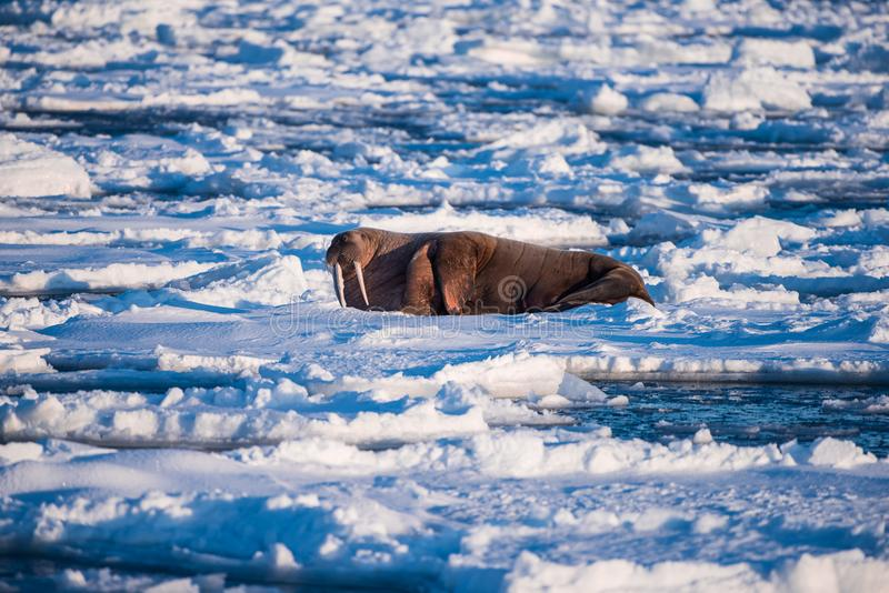 Landscape nature walrus on an ice floe of Spitsbergen Longyearbyen Svalbard arctic winter sunshine day. Norway landscape nature walrus on an ice floe of royalty free stock photography