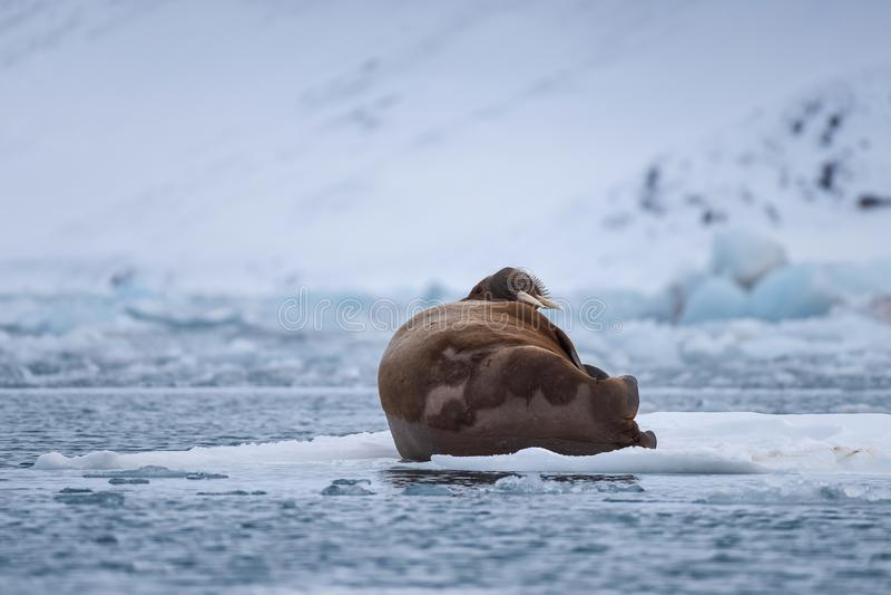 Landscape nature walrus on an ice floe of Spitsbergen Longyearbyen Svalbard arctic winter sunshine day. Norway landscape nature walrus on an ice floe of royalty free stock images