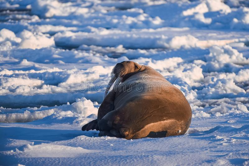 Landscape nature walrus on an ice floe of Spitsbergen Longyearbyen Svalbard arctic winter sunshine day. Norway landscape nature walrus on an ice floe of stock photos
