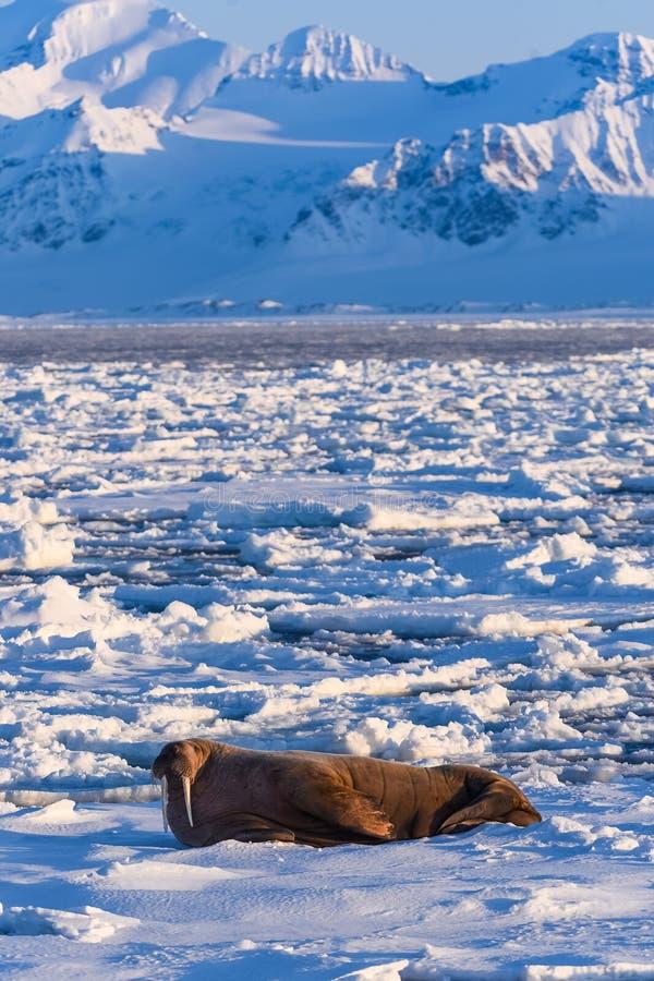 Landscape nature walrus on an ice floe of Spitsbergen Longyearbyen Svalbard arctic winter sunshine day. Norway landscape nature walrus on an ice floe of stock photography