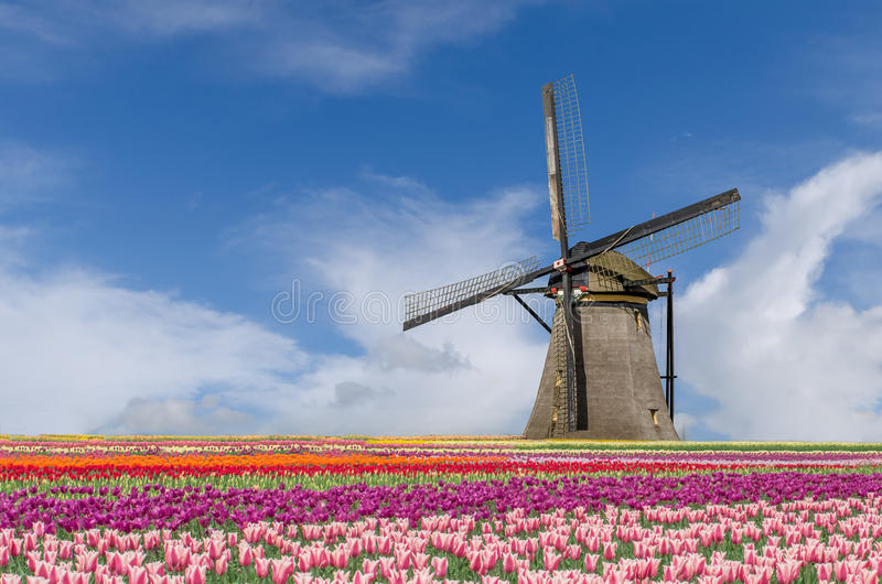 Landscape of Netherlands bouquet of tulips and windmills in Amsterdam, Netherlands. stock image