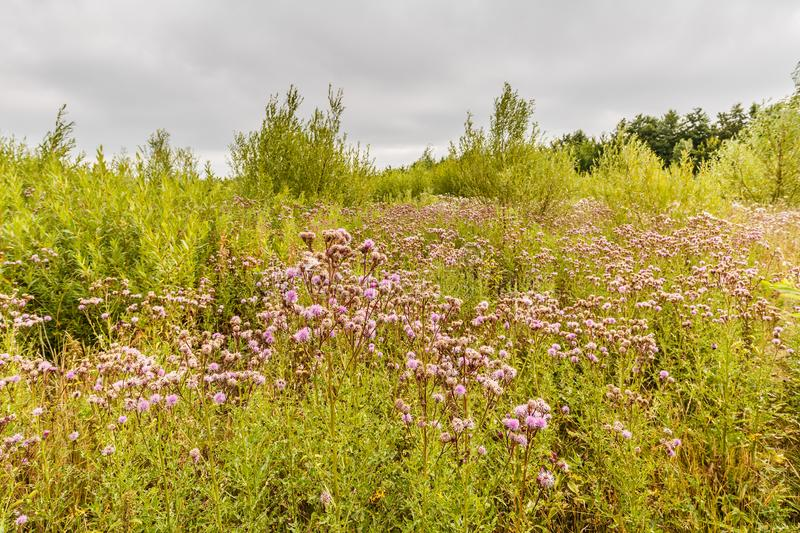 Landscape with blooming Creeping thistle, Cirsium arvense. Landscape in newly developing nature with blooming Creeping thistle, Cirsium arvense, against stock image