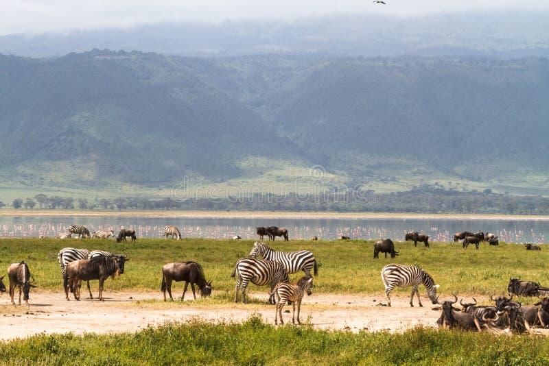 Landscape of NgoroNgoro crater. Herds of herbivores. Tanzania, Africa. Landscape of NgoroNgoro crater. Herds of herbivores. Tanzania, Eastest Africa stock image